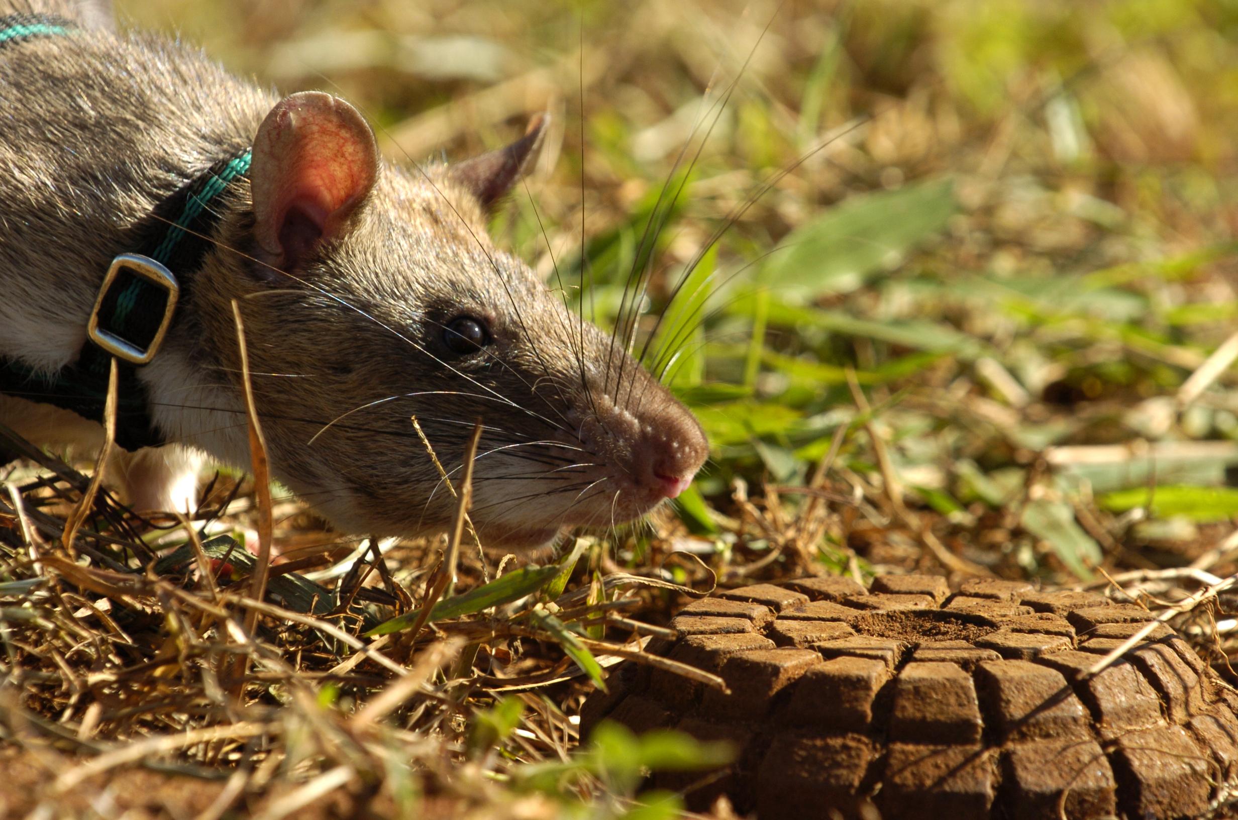 Apopo Rat