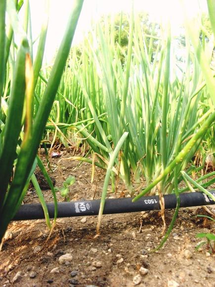 KB Drip in Onion field in Maharashtra