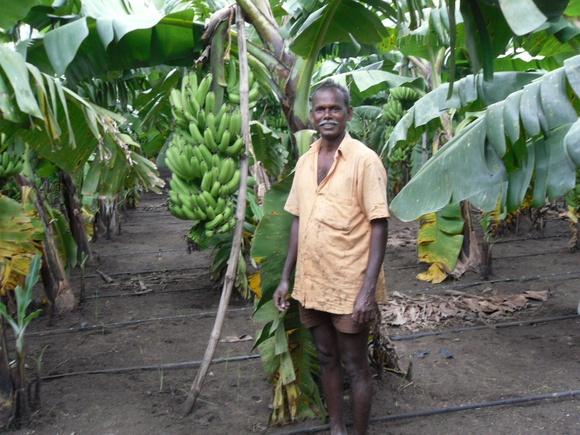 Farmers Cultivating Banana Using KB Drip